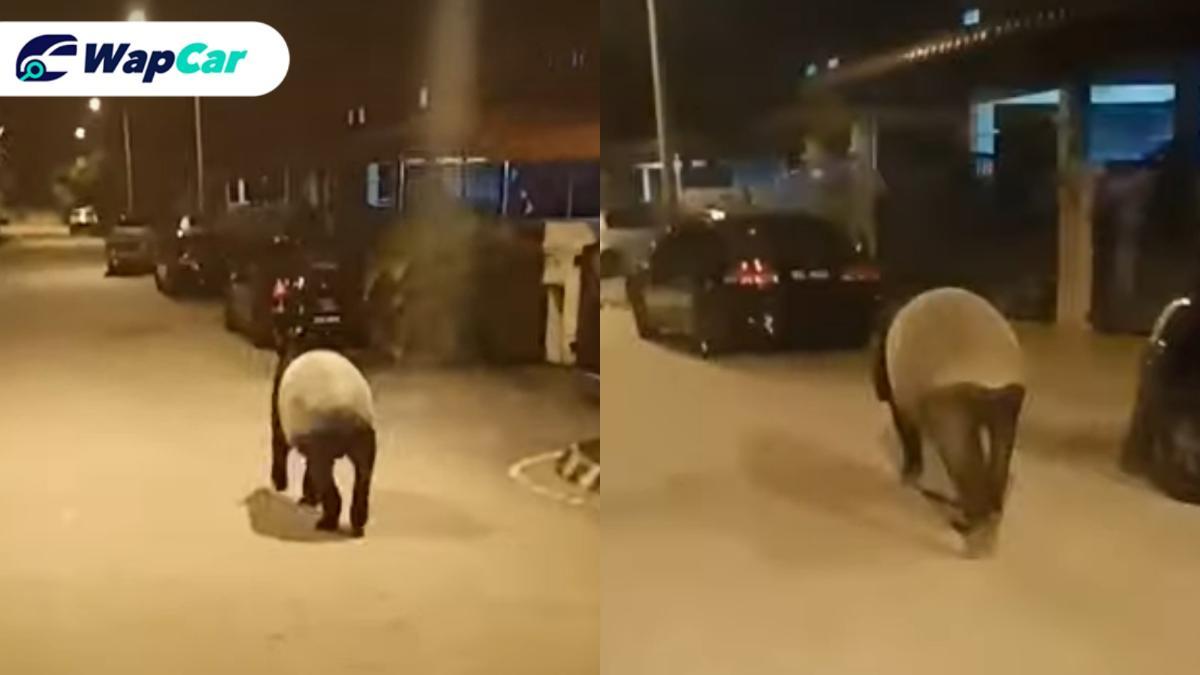 Watch: Rare Malayan tapir spotted wandering on road 01