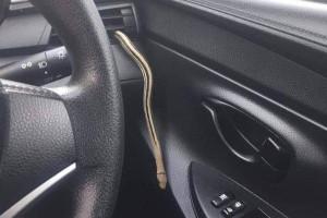 Snake in a car!